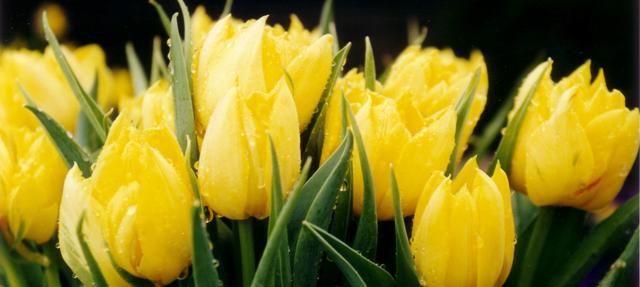 unm tulipas_chris